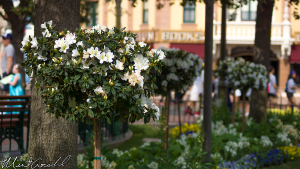 Disneyland Resort, Disneyland, Main Street U.S.A., Flower, Town, Square