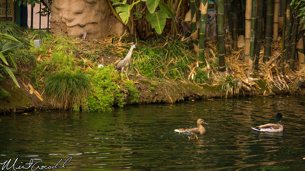 Disneyland Resort, Disneyland, Mother, Nature, Baby, Duck, Ducks