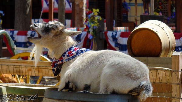 Disneyland Resort, Disneyland, Big Thunder Ranch, Goat