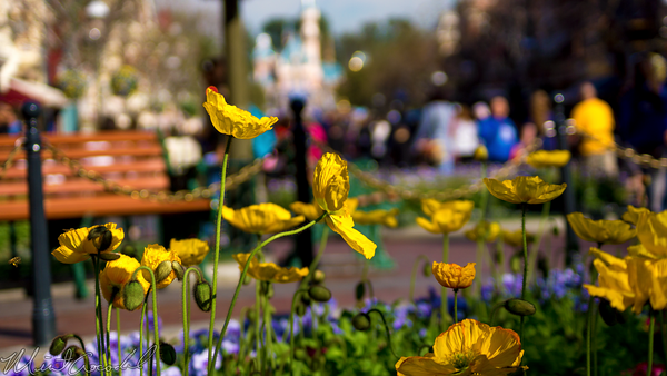 Disneyland Resort, Disneyland60, Disneyland, Main Street U.S.A., Town, Square, Flower, Bee, Nature